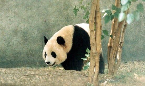 Bronx Zoo Panda