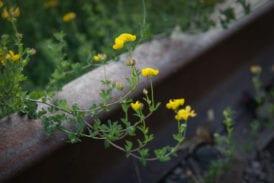 Plants grow across the tracks